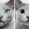 These Adorable Russian Blue Cats Have The Most Mesmerizing Eyes.