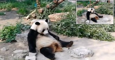 Tourists Are Caught Throwing Rocks At A Giant Panda 'To Wake It Up' In Beijing Zoo