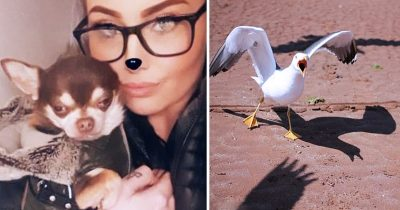 Amazing Moment! Seagull Grabs Gizmo The Chihuahua From A Garden Before Soaring Away