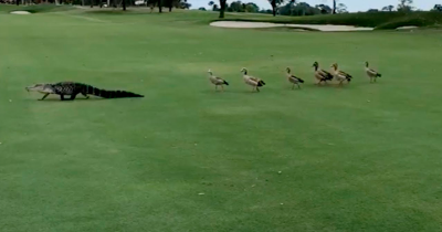 Angry Flock Of Geese Interrupts Golf Games As They Chase Out An Alligator.
