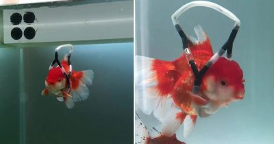 Guy Makes 'Wheelchair' To Stop Disabled Goldfish Swimming Upside Down