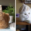 Cats Are Wearing Hats Crafted From Their Own Shed Fur