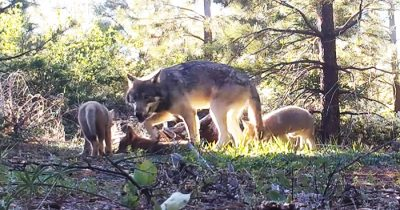 California's Last Gray Wolf Stunned Everyone By Giving Birth To Three New Pups