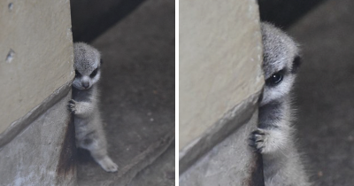 Japanese photographer snapped adorable pictures of baby meerkat.