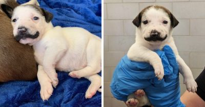 Meet Salvador Dolly, The Attractive Puppy With A Handlebar Mustache