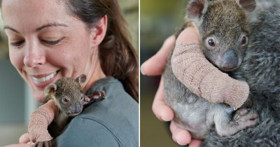 Little Koala Joey Is Fitted With A Tiny Cast For Its Broken Arm And Paired With His Mother.
