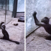 Monkey in a China Zoo broke glass wall after sharpening a rock.