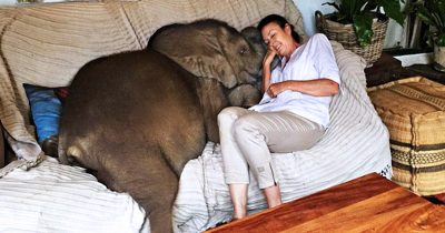 Woman Saved A Baby Elephant And Now He Follows Her Everywhere.