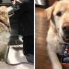 Coldhearted Owner Wants Weighty Retriever Be Put Down, Vet Find Him A New Home