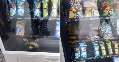 Raccoon Caught Inside High School Vending Machine Prowling Among Snacks